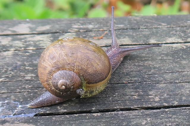 Unidentified Snail at Dawlish, Canon POWERSHOT G5 X