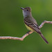 Great crested flycatcher by Phiddy1