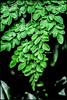 Leaves - Moringa oleifera