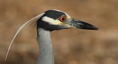 Yellow-crowned Night-Heron, Green Key