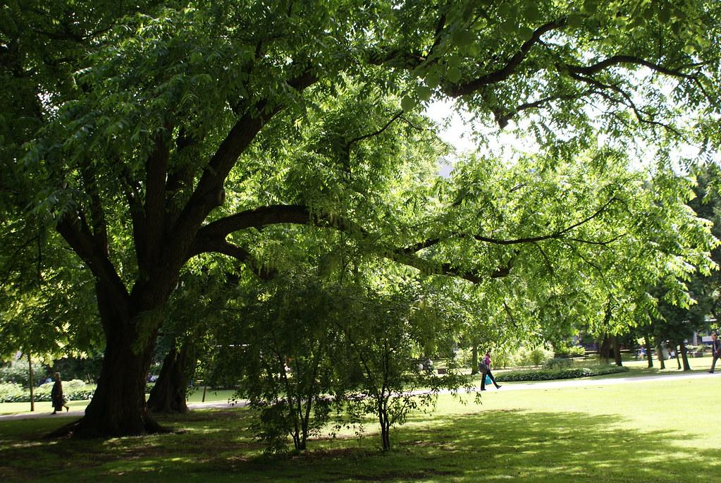 Bel arbre dans le jardin Vermanes à Riga.