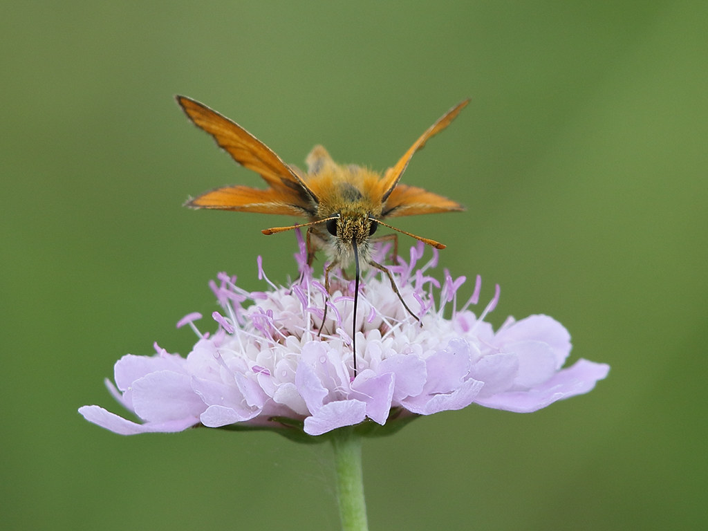 Essex Skipper  Thymelicus lineola