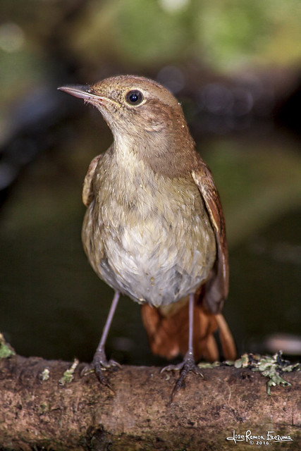 common nightingale, Canon EOS 50D, Canon EF 70-300mm f/4-5.6 IS USM
