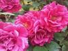 Roses!!