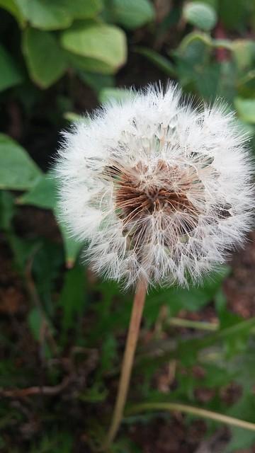 아침풍경 | 민들레홀씨꽃