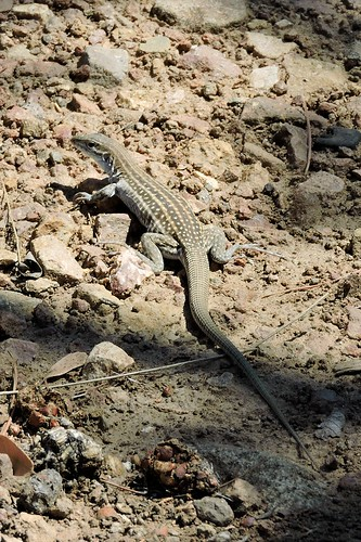 Chihuahuan Whiptail