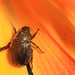 Small photo of Scarab on Lily, Woodbridge, Virginia