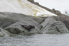 Fur Seal, ice, rock and lichen