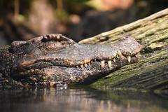 alligatorNAB 3.17