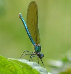 Damselflies and Dragonflies