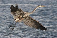 Great Blue Heron Takeoff