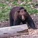 European Brown Bear1 (Ian Tulloch)