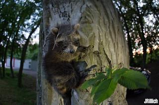 young raccoon, Waschbär, Procyon lotor @ Leipzig, urban nature, 2017