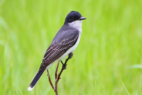 eastern kingbird easternkingbird mckenziemarsh