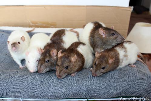 #RattieSitting the Louna clan: Welcome back you cutsie schmoopies!