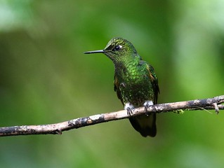Buff-tailed Coronet | by douwesvincent