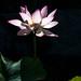 lotus in Taipa Houses-Museum