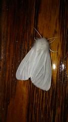 2017-06-23_09-27-19 Pink-legged Tiger Moth Pink-legged Tiger Moth (Spilosoma latipennis Spilosoma latipennis)???, Bob Evan's Restaurant, Prince Frederick Quad, Calvert County, MD, 2017_0623