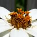 Carpet beetle on flower