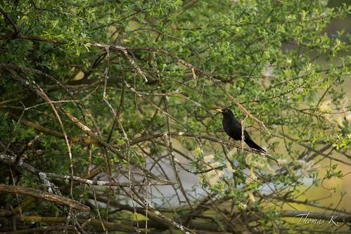 Un merle noir dans son arbre
