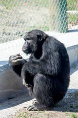 Chimpanzee Monkey World 8th April 2017 #8