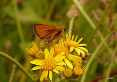 Essex Skipper Butterfly.