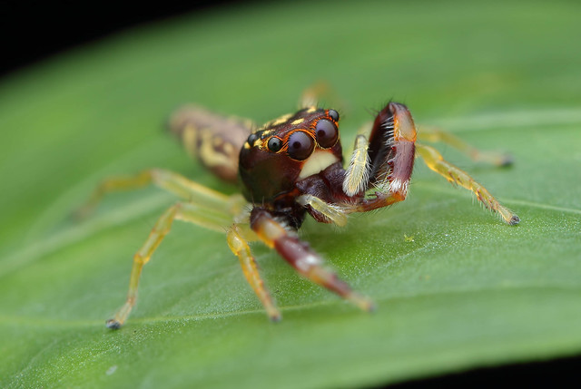 IMG_1789 Jumping spider.