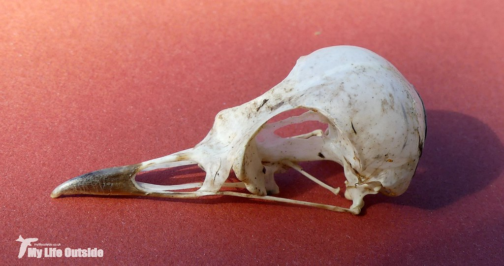 P1090507 - Meadow Pipit Skull