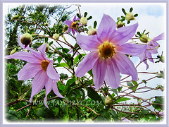 Captivating pink blooms of Dahlia imperialis (Tree Dahlia, Bell Tree Dahlia, Imperial/Giant Dahlia), 26 Oct 2013