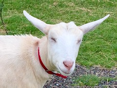 Laughing Goat