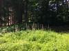 Fingerhut im Wald