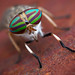 Tabanus sp - Oklahoma, USA by Thomas Shahan 3