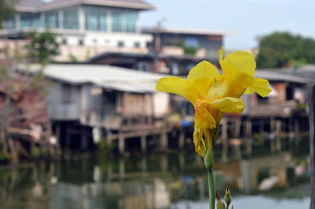 canna lily along the canal