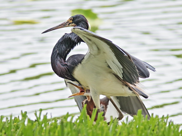 Tricolored Heron demands feeding 04-20170612