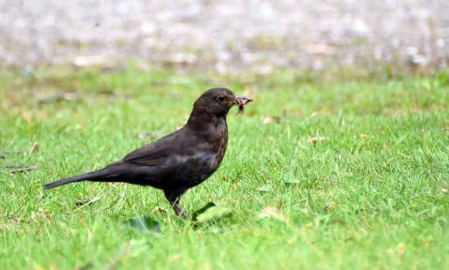 Blackbird (13)
