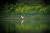 Garcilla cangrejera (Ardeola ralloides) / Squacco heron