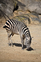 zebra grazing right