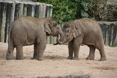 Asian Elephants (Elephas maximus)