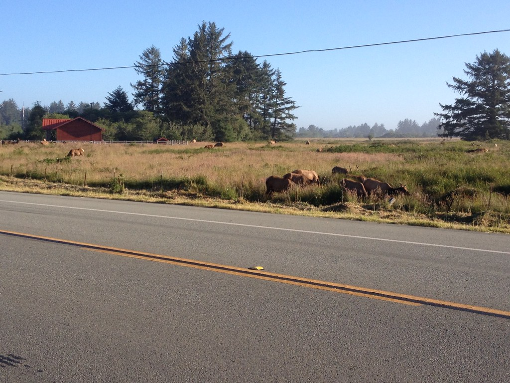 Elk just south of Crescent City CA on 101, Redwood Highway