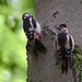 Small photo of Great spotted woodpeckers