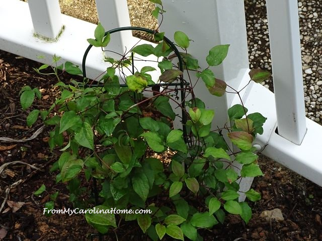 clematis at From My Carolina Home