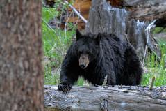 Bear on approach.