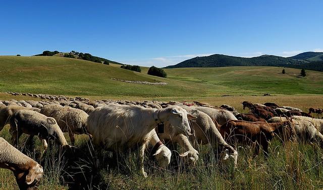 Chèvres et moutons...