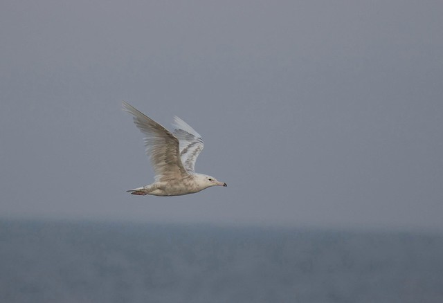 Mew Gull, Canon EOS 7D MARK II, Canon EF 400mm f/4 DO IS