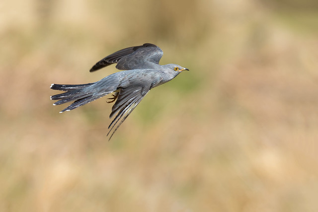 Cuckoo in flight, Canon EOS 7D MARK II, Canon EF 300mm f/2.8L IS