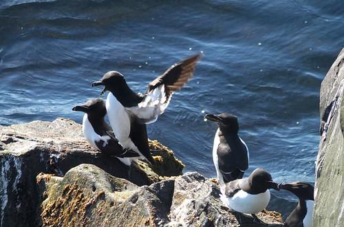 islande péninsuledesnaefellsnes ondverôarnes oiseau bird pájaro pingouintorda razorbill alcacomún