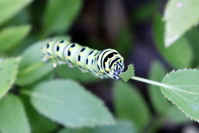 similarly sized caterpillar viewed from the front, holding a leaf in its front legs to eat it