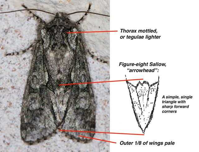 Figure-eight Arrowhead highlighted