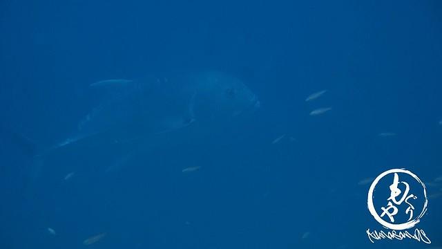 巨大ロウニンアジ出現!!!グルクンの大きさで比較してみて!!!