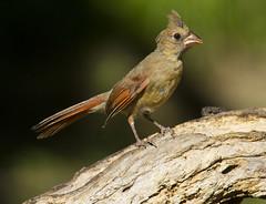 juvenile Northern Cardinal, female
